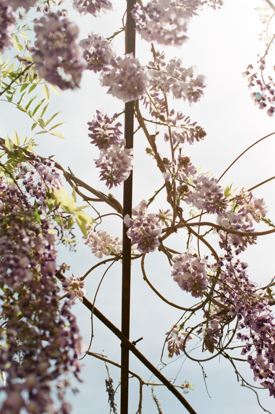 hanging_wisteria